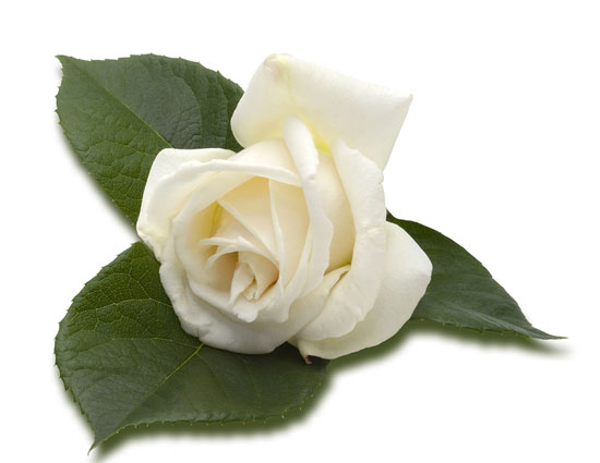love,valentines week,valentine day,every color of rose depicts a story,rose day,valentine week,red rose,yellow rose,pink rose,orange rose,white rose,black rose,lavender rose
