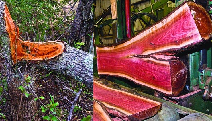 अनोखी लकड़ी जिसके एक किलो की कीमत हैं 7 लाख रुपए, बड़े अमीर भी खरीदने में सोचते हैं दस बार