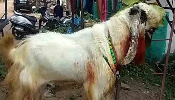 chhattisgarh,celebration of bakra eid,8 feet bakra,weird news , छत्तीसगढ़, बकरीद