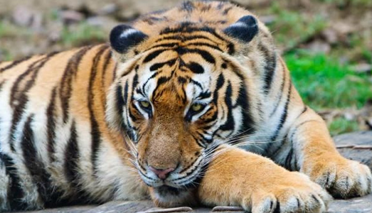 least known species of bengal tiger,species of bengal tiger,white tiger,black tiger,golden tiger,snow tiger,swamp tiger