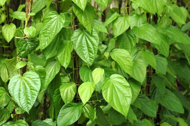 health benefits,health benefits of betel leaves,betel leaves,Health tips,healthy living