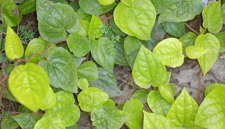 5 Health Benefits of Betel Leaves