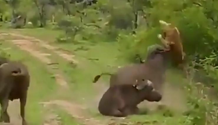 शिकार करने आई शेरनी को भैंस ने दी पटखनी, वीडियो देख आप हो जाएंगे हैरान