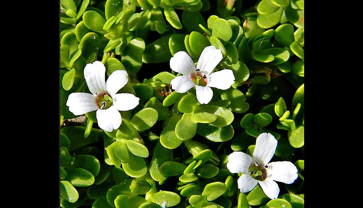 skin benefits of using brahmi,brahmi,beauty benefits of brahmi,beauty tips,skin care tips,hair care tips