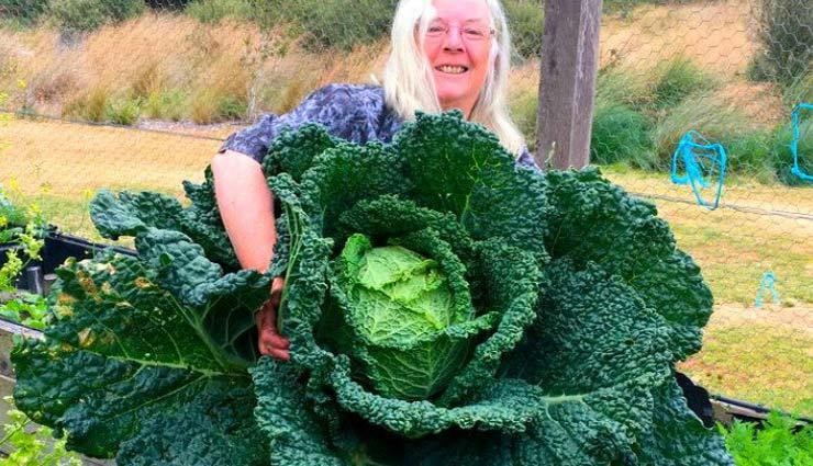 ऑस्ट्रेलिया दंपत्ति ने अपने बगीचे में उगार्इ इंसान के आकार की पत्तागोभी