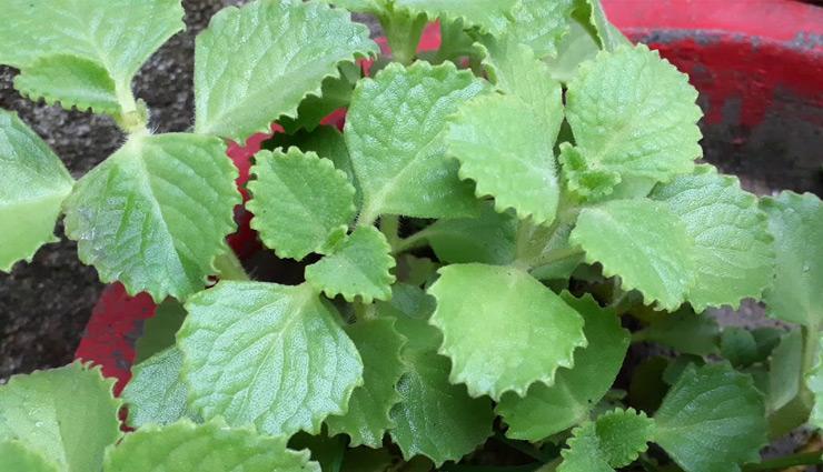 औषधीय गुणों का खजाना है अजवाइन की पत्तियां, सेवन से होते हैं ये फायदे
