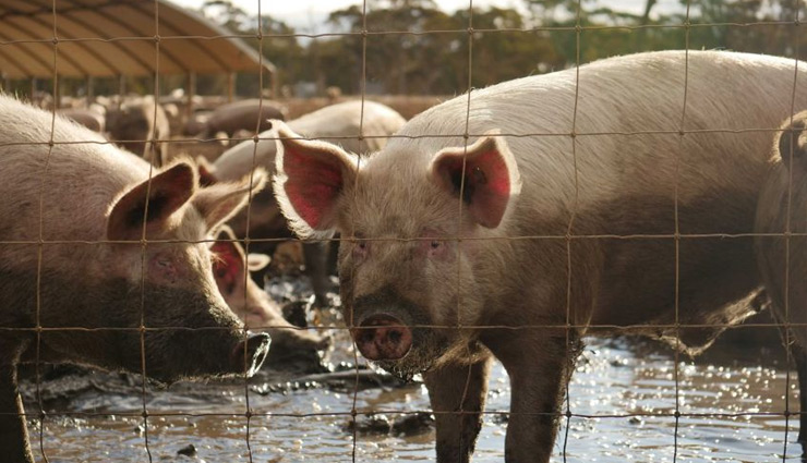 swine flu,highly infectious swine flu,new swine flu,china,swine flu pandemic,serious symptoms,swine flu alert,coronavirus,covid-19,h1n1,health news , चीन