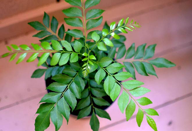 health benefits,health benefits of curry leaves,Health tips,fitness tips