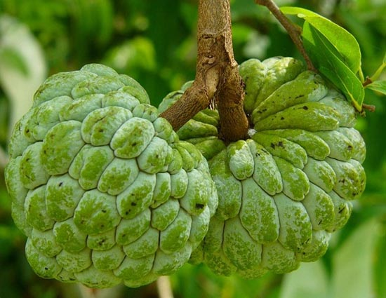 The Winter Fruit Custard Apple Has Many Skin Benefits