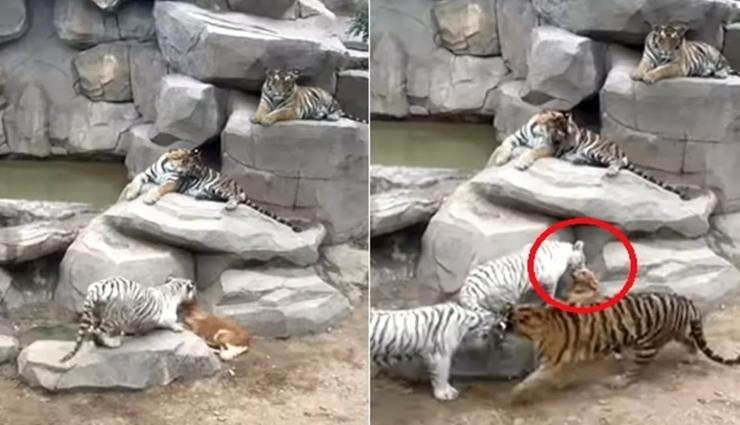 5 बाघों से घिरा कुत्ता लेकिन भागने की बजाय किया सामना, रोंगटे खड़े कर देगा वीडियो!