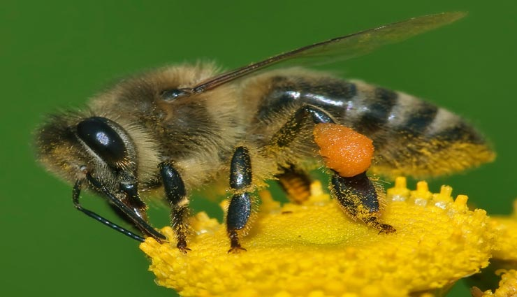 interesting facts,amazing facts,honey bee,facts related honey bee,interesting facts of honey bee,amazing facts of honey bee ,मजेदार तथ्य, रोचक तथ्य, मधुमक्खियाँ, मधुमक्खियों के रोचक तथ्य, मधुमक्खियों के मजेदार तथ्य