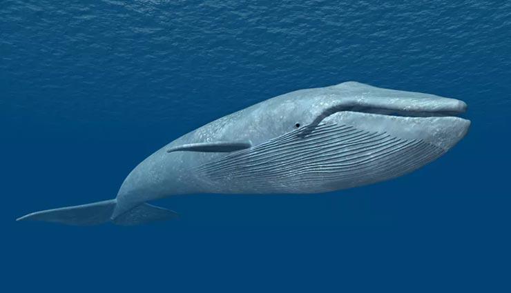 'ब्लू व्हेल' कभी नहीं ले पाती पानी में सांस, जानें इससे जुड़े अन्य कई रोचक तथ्य