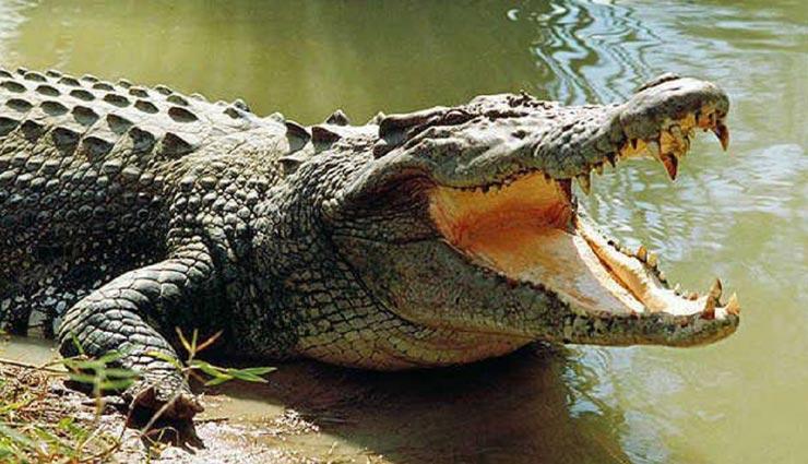 amazing facts,crocodile,amazing facts of crocodile,niel crocodile ,रोचक तथ्य, मगरमच्छ, मगरमच्छ के रोचक तथ्य, नाइल मगरमच्छ