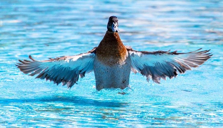 बतख एक दिन में लगातार 532 किलोमीटर तक उड़ सकती हैं, जानें अन्य पक्षियों से जुड़े रोचक तथ्य