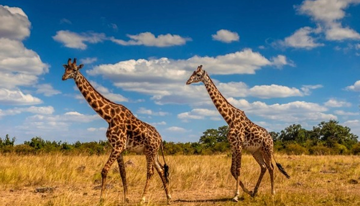 Reason Why Giraffe has Long Necks