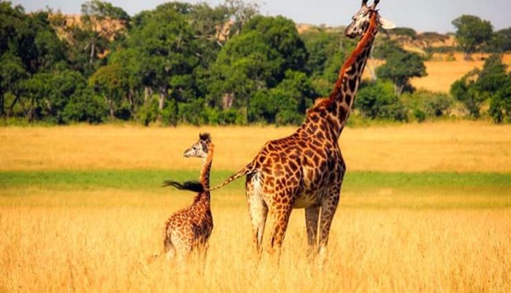 why giraffe has long necks,facts about giraffe,weird facts