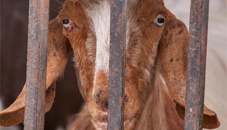 goats arrested,goats,weird story,telangana ,अनोखी खबर, बकरियों की गिरफ़्तारी, तेलंगाना, बकरियों का जुर्म