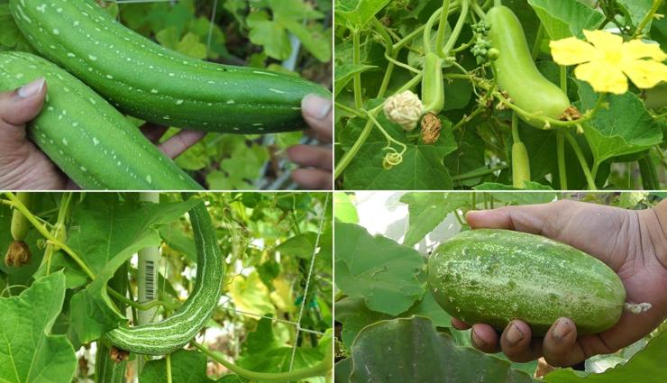 gourd vegetables,gourd vegetables grown in india,popular gourd vegetables,sponge gourd,bottle gourd,bitter gourd,ridge gourd,snake gourd