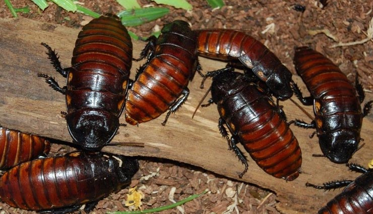 cockroach,facts related to cockroach,interesting facts of cockroach,amazing facts of cockroach ,कॉकरोच, कॉकरोच से जुड़े मजेदार तथ्य, कॉकरोच के अनसुने फैक्ट्स, रोचक तथ्य