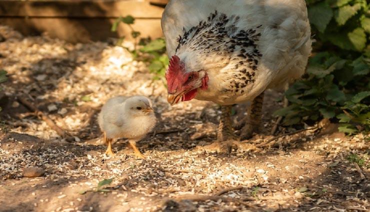 OMG!! मुर्गी ने बिना अंडे के चूजे को दिया जन्म