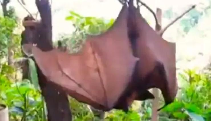 coronavirus,human sized bats,philippines , फिलीपींस,इंसान के आकार के चमगादड़