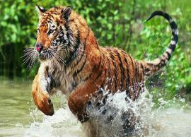 Search for man-eating tiger continues, drones used to track him in Karnataka