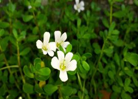 Brahmi Helps To Improve Your Memory, Here are More Benefits of It