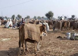 5 Biggest Cattle Fairs To Witness in India