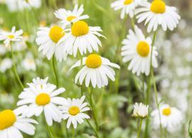5 Beauty Benefits of Using Chamomile