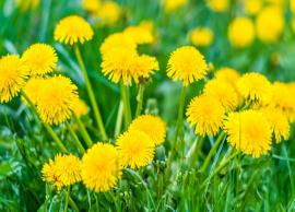 5 Reasons Why Dandelion Root is Good For Your Body