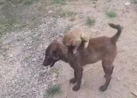 VIDEO- Dog Carrying Baby Monkey to Local Police Station in MP Goes Viral