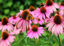 From Treating Cold To Cancer, Here are 12 Health Benefits of Echinacea