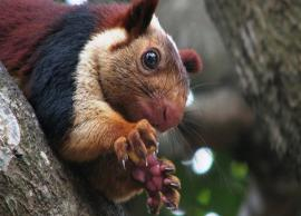 5 Giant Species of Squirrels Found in India