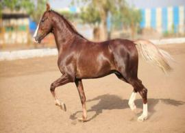 5 Most Popular Indian Horse Breeds