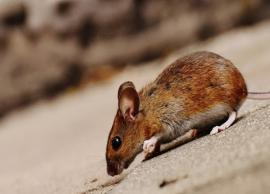 5 Effective Ways To Get Rid of Mice From Home