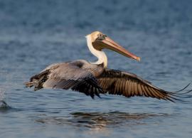 5 Sanctuaries To Spot Pelican Birds in Andhra Pradesh