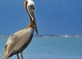 5 Sanctuaries of Andhra Pradesh Famous For Pelican Birds