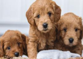 5 Things You Must Keep in Mind Before Adopting a Puppy