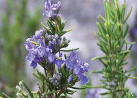 10 Health Benefits of Rosemary