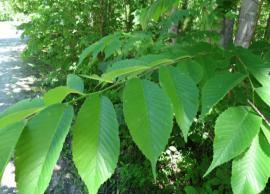 5 Health Benefits of Using Slippery Elm