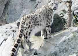 5 Places To Spot Snow Leopard in India