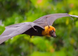 5 Special Species of Bat Family Found in India