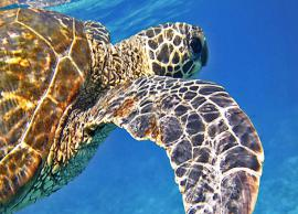 5 Species of Sea Turtles Found in India