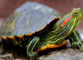 5 Species of Turtles Found in India