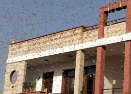 Swarms of locusts play havoc in Rajasthan