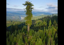 5 Most Tallest Trees Around The World