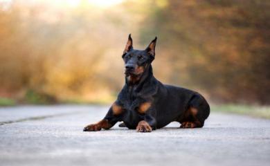 कुत्ते का आपके दाहिने अंग को चाटना देता है सिद्धि की सूचना, जाने ऐसे और संकेत