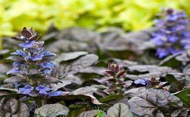 5 Magical Health Benefits Of Bugleweed