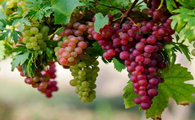 5 Health Benefits of Eating Grapes