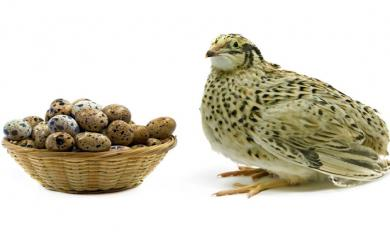 Have You Heard About The Amazing Benefits of Eating Quail